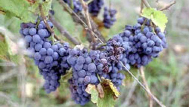 """""""Fantasia d'uva"""" a Marsciano"""