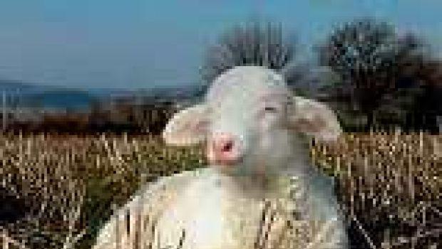 Pasqua: dura esser agnelli….