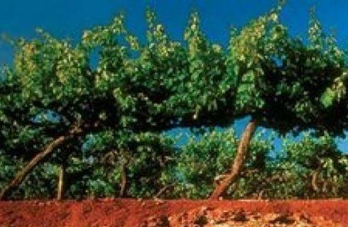 Vini australiani: le terre rosse di Coonawarra