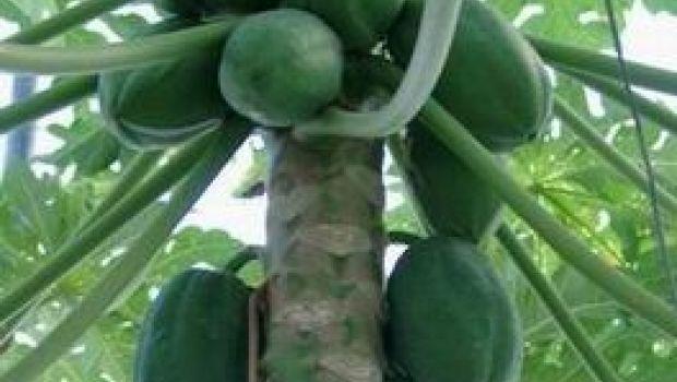 Le foglie della papaia per una carne più tenera