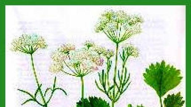 L'anice: la pianta del Re Sole