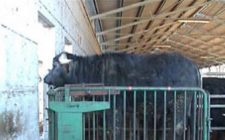 Diamo la IGP alla carne di bufalo