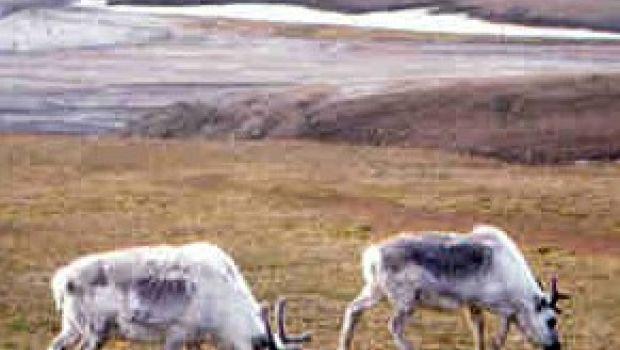 Piatti esotici: lingua di renna