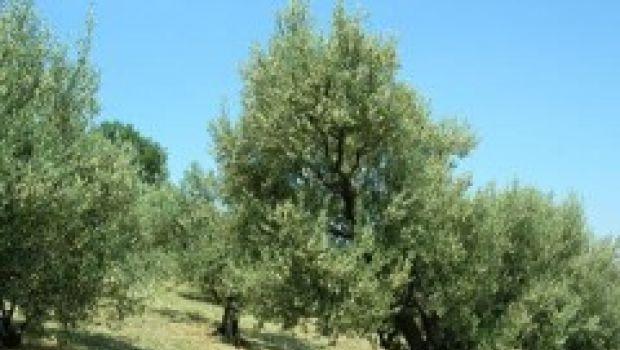 Questa domenica? Alla Sagra dell'ulivo a degustare il Brisighello