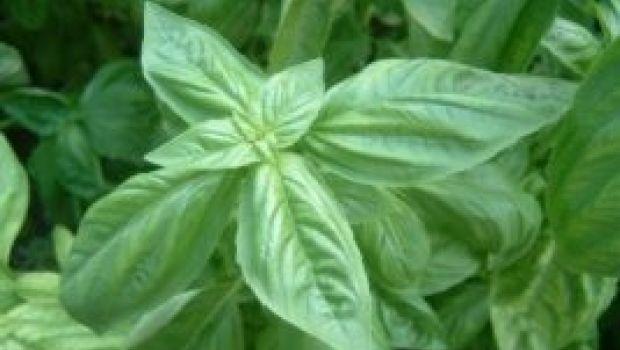 Basilico: un'erba dal profumo regale