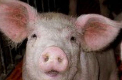 In Abruzzo un museo dedicato al maiale