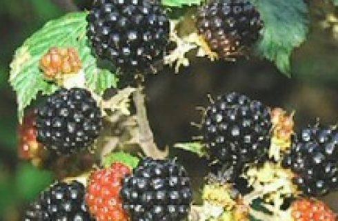 Degustare frutti di bosco alla Masseria San Iorio