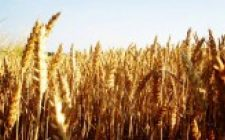 Allarme grano: dalla tavola al serbatoio
