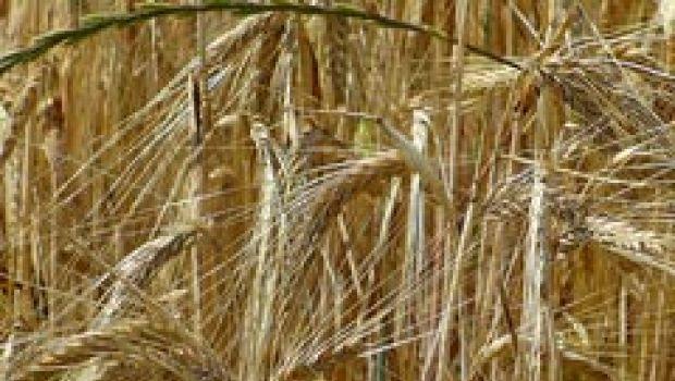Mais, grano e riso: prezzi alle stelle