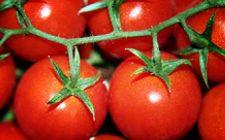 Pomodori che non avvizziscono? Adesso si può