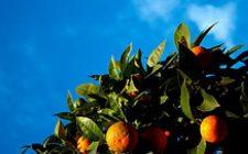 Ricetta facile delle arance al cartoccio