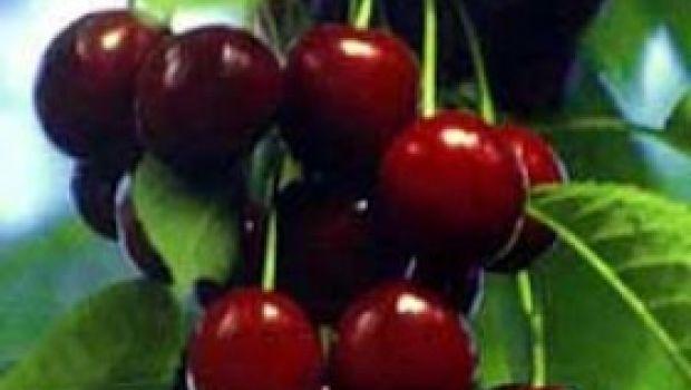 Ricette stuzzichini: focacce con ciliegie e rosmarino