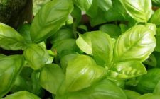 Conoscere le erbe: il basilico
