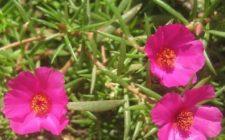 Conoscere le erbe: la porcellana