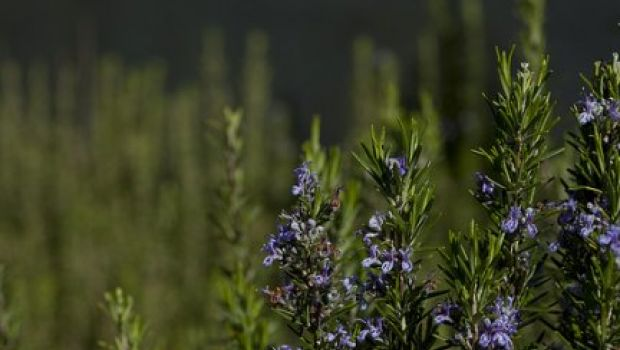 Conoscere le erbe: il rosmarino