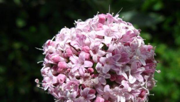 Conoscere le erbe: la valeriana