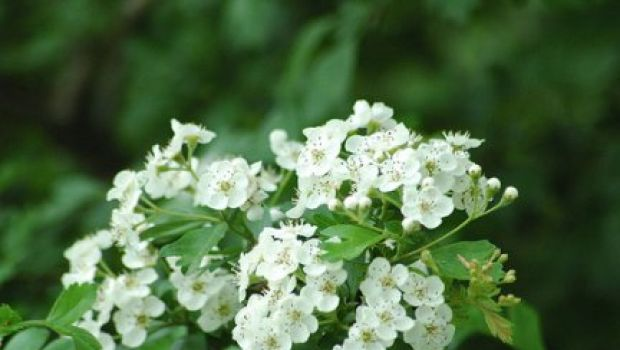 Conoscere le erbe: il biancospino