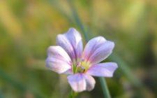 Conoscere le erbe: i semi di lino