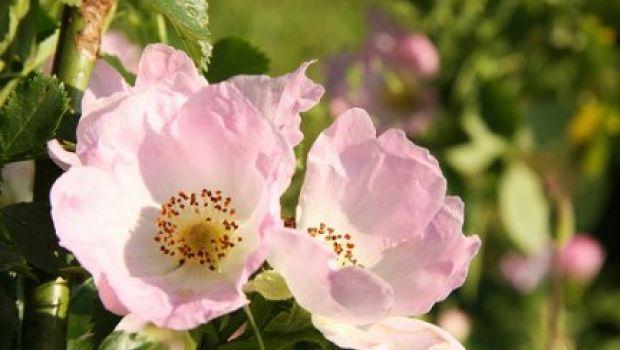 Conoscere le erbe: la rosa canina