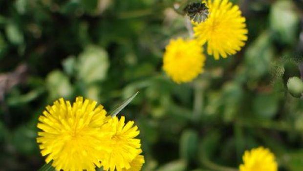 Conoscere le erbe: il tarassaco