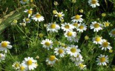 Conoscere le erbe: la camomilla