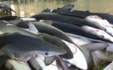 Secondi di pesce: trance di verdesca in agrodolce