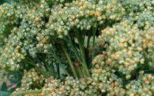 Conoscere le erbe: la quinoa