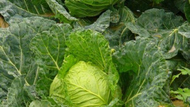 L'ortaggio del mese: la verza