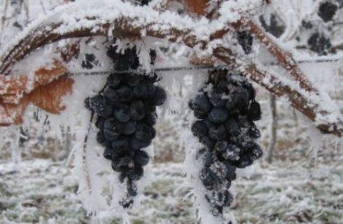 Il  vini che nascono dal freddo