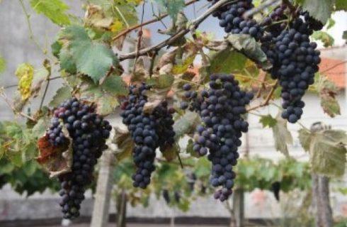 L'uva di Puglia verso la conquista dell'Igp