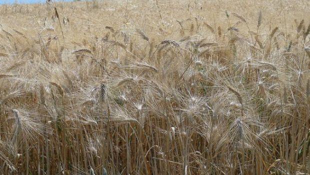 Che cos'è il grano arso e come si usa in cucina