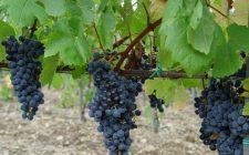 Dalla Fattoria di Gratena a Pieve a Maiano, il vitigno autoctono Gratena Nero