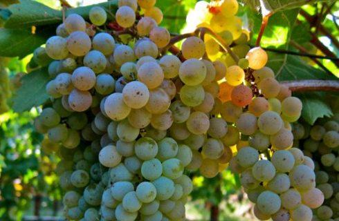 Roter Veltliner, il vitigno austriaco dal colore rosa