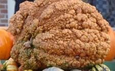 Le zucche giganti