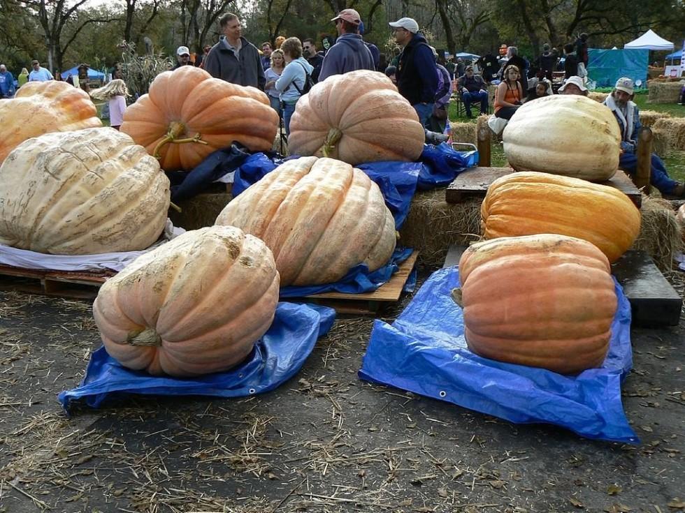 Le zucche giganti - Foto 5