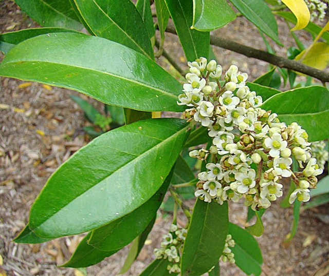 Le foglie della pianta Ilex Paraguayensis