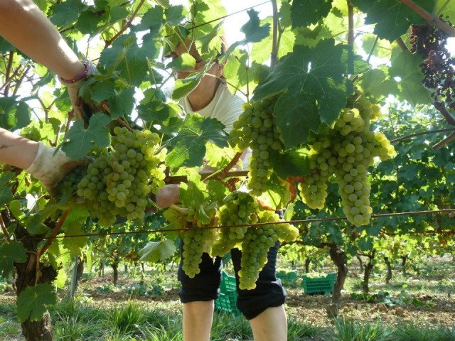 Vendemmia collestefano