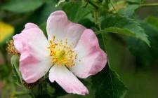 La rosa canina è molto più di un fiore