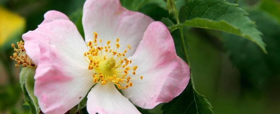 La rosa canina è molto più di un fiore, anche in cucina