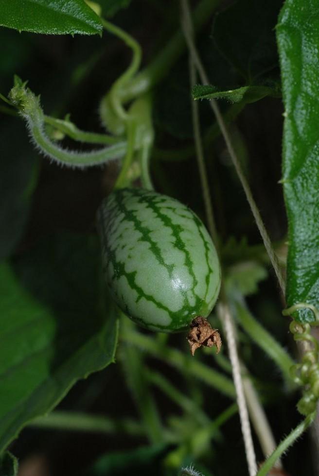 I frutti più strani del mondo - Foto 21