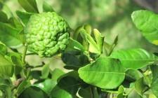 Aromi thailandesi: Kaffir lime