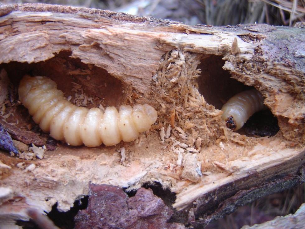 Per stomaci forti: insetti da mangiare - Foto 22