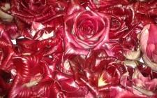 La Rosa senza spine di Gorizia