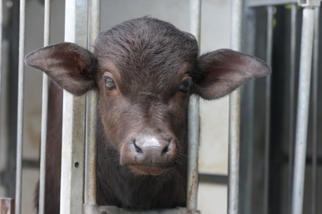cucciolo di bufala