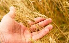 Allerta grano tossico a Bari
