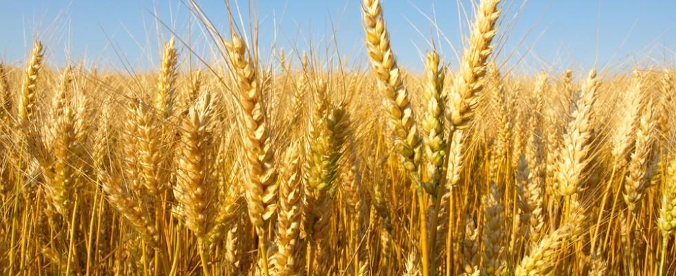 Grano italiano e grano estero: locale è meglio?