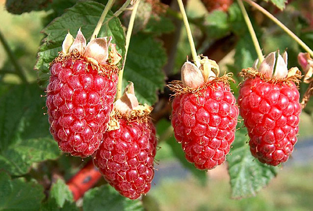 tummelberry