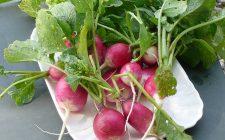 I ravanelli in insalata per un contorno veloce
