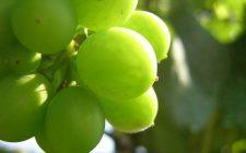 La crostata all'uva bianca con la ricetta facile