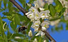 La marmellata ai fiori di acacia con la ricetta originale
